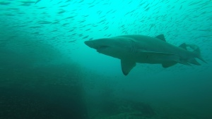 Sandtiger Shark on the Caribsea Wreck (NC)