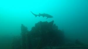 Sand tiger Shark 2